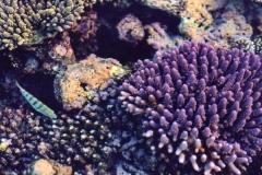 44-Koralle IV